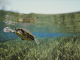 A Rare Suwannee Cooter Swims Through Clear Florida Waters