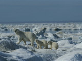 Two Polar Bear Cubs Follow Their Mother Through the Icy Landscape