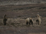 Two Grizzly Bears Face Each Other as If Looking for a Fight