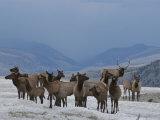 Wapiti, or Elk, Harem with Male in Winter