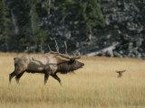 Wapiti, or Elk, Male During Mating Season