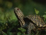 An Ornate Box Turtle Surveys the Surrounding Landscape