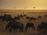 Wildebeests Graze on a Savanna at Twilight
