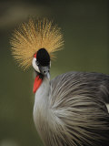 A Portrait of a Captive Grey-Crowned Crane in Africa
