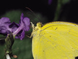 Close View of a Common Grass-Yellow Butterfly on a Purple Flower