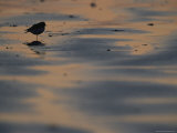 A Sandpiper, Perched on One Leg, Silhouetted on Sandflats at Twilight