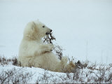 A Polar Bear Cub Chews on a Twig