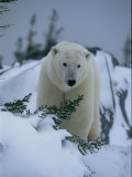 A Polar Bear in a Snowy, Twilit Landscape