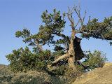 An American Black Bear Climbs a Tree