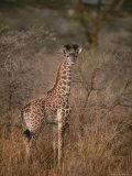 A Young Reticulated Giraffe, Giraffa Reticulata