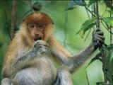 A Young Proboscis Monkey Eats a Piece of Fruit