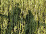 A Couple Cast Shadows on Aquatic Grass from an Observation Platform