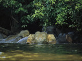 A Group of Asian Elephants Enjoy a Dip in Cool River Water