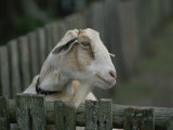 Close View of a Goat Looking over a Wooden Fence