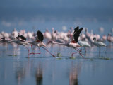 Greater Flamingos Run Through Shallow Water as They Take Flight