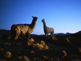Llamas in the Atacama Desert at Dusk