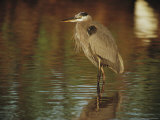 A Great Blue Heron Standing in Shallow Water