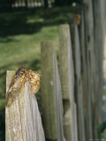 A Newly Emerged Brood X, 17-Year Cicada Next to a Nymphal Exoskeleton