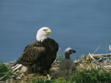 An American Bald Eagle and a Chick in Their Clifftop Nest