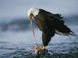 An American Bald Eagle Clutches a Fish with its Talons as it Feeds