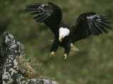 An American Bald Eagle Soars Near its Nest