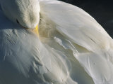 A Whooper Swan Resting with Bill Tucked under Wings