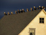 Row of American Bald Eagles Perched on a Rooftop