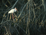 White Ibis Perches on a Mangrove Tree Root