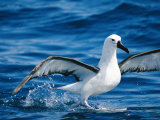 A Yellow-Nosed Albatross Takes Flight from the Waters Surface