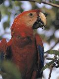 Macaw Parrot, Peru