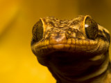 Close-up of Geckos Face with Large and Unusual Eyes