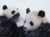 Pandas at the National Zoo in Washington, DC