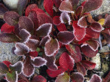 Frosted Alpine Bearberry Leaves in the Fall
