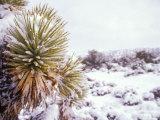 Snow Covers the Ground and Joshua Trees near Mt. Charleston, north of Las Vegas, Nevada, USA