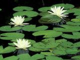 Fragrant Water Lilys, Green Swamp Ecological Reserve, North Carolina, USA