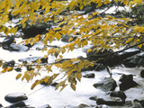 Yellow Tree Branch over Rocky Stream