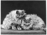 Pair of Very Fluffy Blue Persian Cats Sit Together