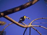Toucan in Tree, Costa Rica