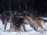 Gray Wolves in Dominance Struggle, Canis Lupus, MN