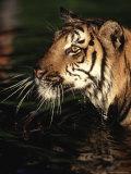 Bengal Tiger, Panthera Tigris, Endangered Species