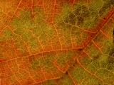 Grape Vine Leaf (Extreme Close-up of Vein & Leaf Detail)
