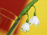 """Leucojum Vernum """"""""Spring Snowflake"""""""" in Glass Vase with Red & Yellow Background"""