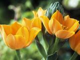 Ornithogalum Dubium: Close-up of Orange Flowers