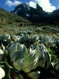 Cabbage Groundsel, Mount Kenya, Kenya