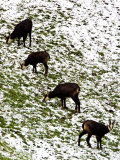 Chamois, Grazing in Snow, Switzerland