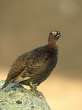 Red Grouse, Lagopus Lagopus Scoticus Adult Male Perched on Rock Grampian, Scotland