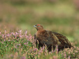 Red Grouse, Lagopus Lagopus Scoticus Male on Heather UK