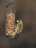 Greenfinch, Male Feeding on Peanutfeeder, UK