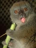 Bamboo Lemur, Feeding on Bamboo