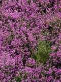 Bell Heather in Flower on Moorland, July